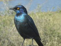 Cape Starling. Perched on car windscreen wiper Stock Photo