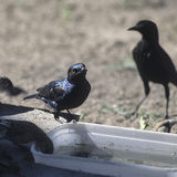Cape starling Royalty Free Stock Images