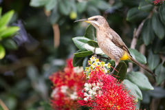 Cape sugar bird looking for nectar in red flowers of bottle brus Royalty Free Stock Photography