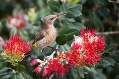 Cape sugar bird looking for nectar in red flowers of bottle brus Royalty Free Stock Photos