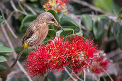 Cape sugar bird looking for nectar in red flowers of bottle brus Stock Images