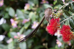 Cape sugar bird looking for nectar in red flowers of bottle brus Royalty Free Stock Images