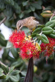 Cape sugar bird looking for nectar in red flowers of bottle brus Royalty Free Stock Image