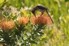 Cape Sugar bird, male, Promerops cafer, bending down to reach nectar on orange Pin Cushion Protea. Flower, Leucospermum cordifolium , South Africa royalty free stock images