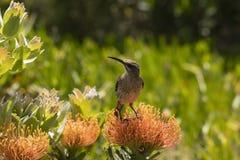 Cape Sugar bird, male, Promerops cafer,sitting on orange Pin Cushion Protea. Flower, Leucospermum cordifolium , looking left. South Africa royalty free stock photo