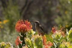 Cape Sugar bird, male, Promerops cafer, sitting upright on orange Pin Cushion Protea flower,. PLeucospermum cordifolium , South Africa royalty free stock photography