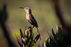 Cape Sugar bird perched on a Protea flower royalty free stock image