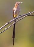 Cape Sugarbird stock images