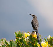 Cape Sugarbird Royalty Free Stock Images