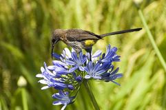 Cape Sugarbird on a blue  Agapanthus Royalty Free Stock Image