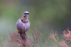 Cape Sugarbird Royalty Free Stock Image