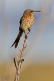 Cape sugarbird (promerops cafer) Stock Images
