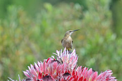 Cape sugarbird on protea flowers Royalty Free Stock Images