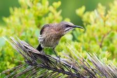 Cape Sugarbird Stock Image