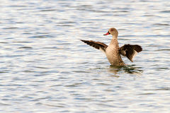 Cape Teal Stock Photo