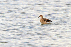 Cape Teal Royalty Free Stock Photography