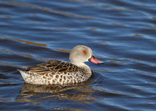 Cape Teal Royalty Free Stock Images