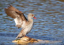 Cape Teal Royalty Free Stock Image