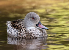 Free Cape Teal Stock Photography - 19585632