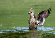 Cape Teal Stock Image