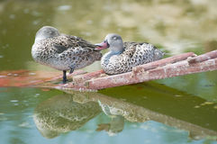 Cape Teal (Anas capensis) Royalty Free Stock Images