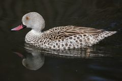Cape teal Anas capensis Royalty Free Stock Photography