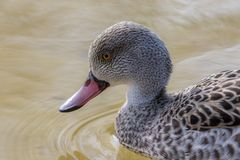 Cape teal duck. Cape teal Anas capensis dabbling duck in close up Stock Image