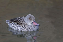 Cape Teal, Anas capensis swimming Royalty Free Stock Image