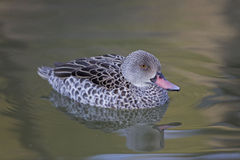 Cape Teal, Anas capensis on the water Stock Photo