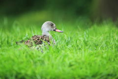 Cape teal Stock Images