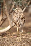 Cape thick-knee Stock Photo