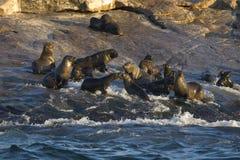 Cape Town, Dichtungen, Bären, die köstlichen Blicke, jeder sollte diese Szene in Ihrem Leben einmal sehen Lizenzfreies Stockbild