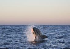 Cape Town, großer weißer kleiner Hai, die köstlichen Blicke, jeder sollte diese Szene in Ihrem Leben einmal sehen Stockfotos