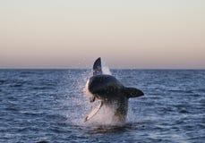 Cape Town, großer weißer kleiner Hai, die köstlichen Blicke, jeder sollte diese Szene in Ihrem Leben einmal sehen Stockbild