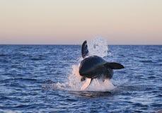 Cape Town, großer weißer kleiner Hai, die köstlichen Blicke, jeder sollte diese Szene in Ihrem Leben einmal sehen Lizenzfreies Stockfoto