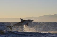 Cape Town, Haifische, erheiterndes Herausspringen des Wassers, schaut, jeder muss diese Szene in Ihrem Leben einmal sehen groß Lizenzfreies Stockfoto