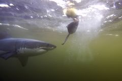 Cape Town, Haifische, Unterwasseransichten, die großen Blicke, jeder sollte diese Szene in Ihrem Leben einmal sehen Stockfotografie