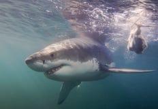 Cape Town, Haifische, Unterwasseransichten, die großen Blicke, jeder sollte diese Szene in Ihrem Leben einmal sehen Stockfoto