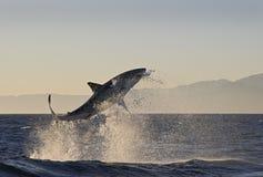 Cape Town hajar, den upplivande banhoppningen ut ur vatten, blickar utmärkt, alla måste se denna plats en gång i ditt liv Royaltyfri Bild
