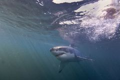 Cape Town hajar, undervattens- sikter, blickar utmärkt, alla bör se denna plats en gång i ditt liv Arkivbilder
