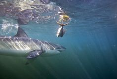 Cape Town hajar, undervattens- sikter, blickar utmärkt, alla bör se denna plats en gång i ditt liv Royaltyfria Foton