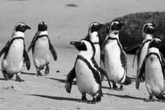 Cape Town Penguin Island in South Africa Royalty Free Stock Photos