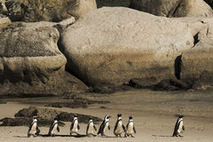Cape Town Penguin Island in South Africa Stock Photography
