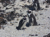 Cape Town penguins Royalty Free Stock Image