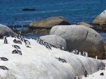 Cape Town penguins Stock Image