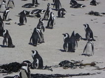 Cape Town penguins Stock Photos