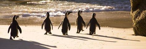 Cape Town - pingüinos africanos Fotografía de archivo libre de regalías
