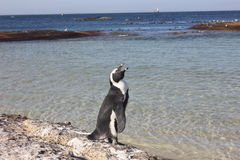 Cape Town - pinguin - Bolders Beach royalty free stock image