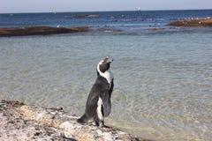 Cape Town - pinguin - plage de Bolders image libre de droits