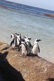 Cape Town - pinguin - playa de Bolders Fotos de archivo